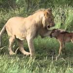 León salva a un cachorro de antílope de otro león