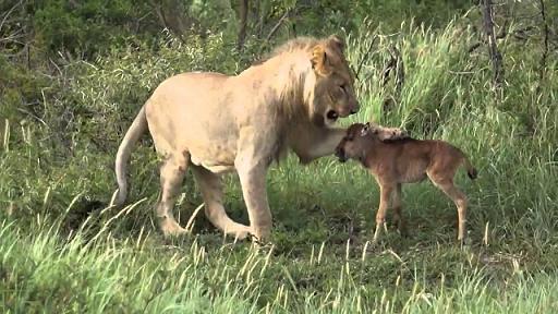 leon salva antilope