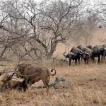 Manada de leones frente a una manada de búfalos