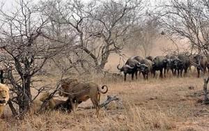 leones vs bufalos