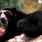 Reportaje sobre el oso de anteojos