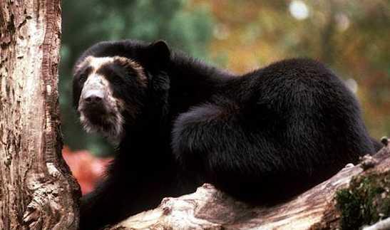 oso anteojos