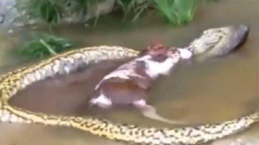 Anaconda gigante regurgita una vaca