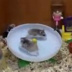 Dos hamsters jugando en un plato giratorio