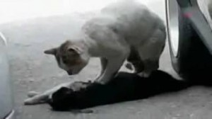gato intenta reanimar otro gato muerto