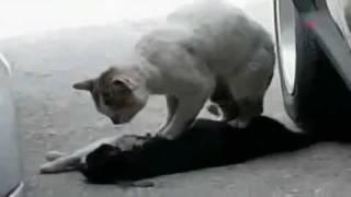 Una gata intenta reanimar a otra gata muerta