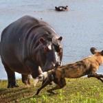 Perros salvajes acorralan a un impala