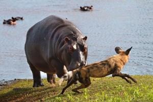 hipopotamo vs perro salvaje