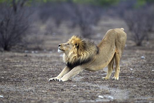 leon estirandose