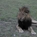 Una mosca molestando a un león