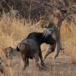 Manada de leonas cazando un gran bufalo