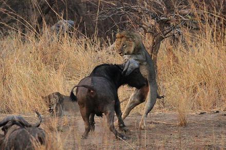 leon vs bufalo