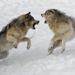 Pelea de lobos, dos manadas frente a frente