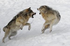 pelea de lobos