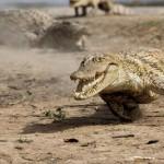 Documental completo: Yo depredador – El cocodrilo