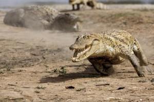 yo depredador cocodrilo cazando