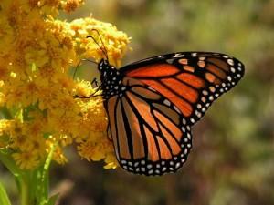 mariposa monarca michoacan