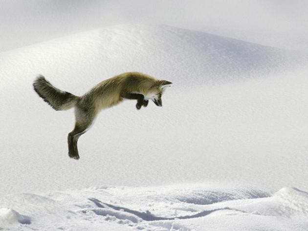 zorro rojo cazando ratones