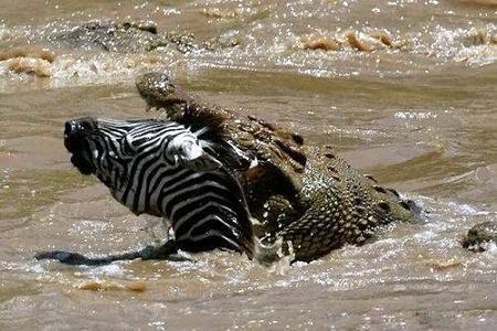 cocodrilo cazando cebra