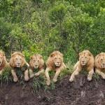 Seis leones macho viviendo juntos