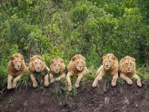 6 leones seis