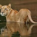 Documentales animales: Los leones del pantano
