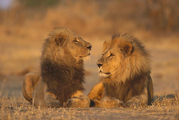 documentales leones dos leones