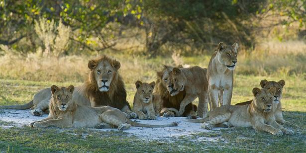 documentales leones manada leones