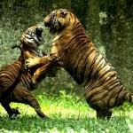 Dos tigres peleando en Sudáfrica