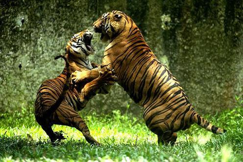 dos tigres peleando