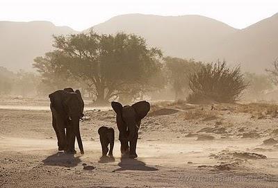 grandes migraciones elefantes desierto