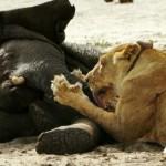 Leones cazan una cría de elefante