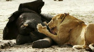 eones cazan elefante