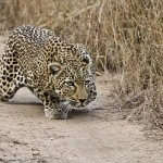 Impresionante salto de un leopardo escapando de una jabalí