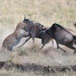 Una madre ñu defiente a su cría del ataque de un leopardo