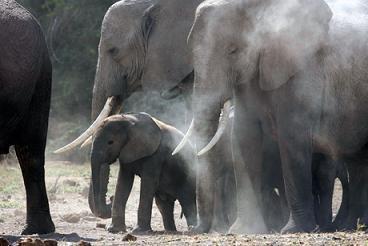 Grupo de elefantes rescatando a un pequeño elefante en el agua