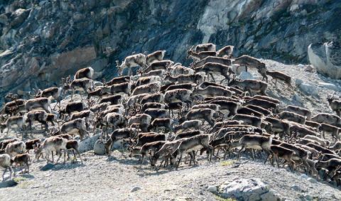 migración caribu reno