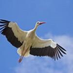 La migración de las cigüeñas blancas
