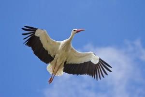 migración cigüeña blanca