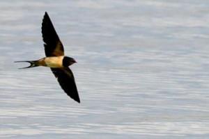 migracion golondrina volando
