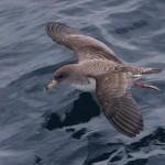 La migración de la pardela