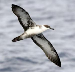 migracion pardela volando