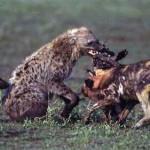 Pelea entre hienas y perros salvajes