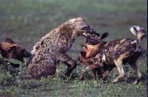 pelea hienas perros salvajes
