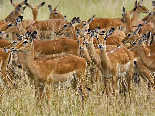 sabana africana impala
