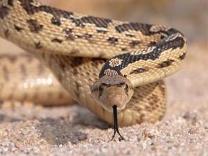 serpiente desierto