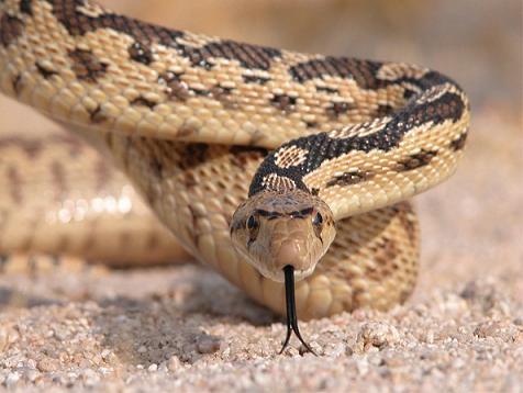 Una serpiente del desierto caza un lagarto