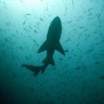 Comportamiento social de los tiburones