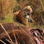 Tigre cazando un gaur