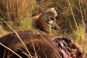 tigre cazando bisonte